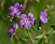 Leinwanddruck Bild - Wald-Storchschnabel; Geranium sylvaticum; Bluete Nahansicht;