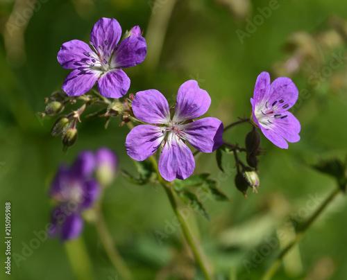 Leinwanddruck Bild Wald-Storchschnabel; Geranium sylvaticum; Bluete Nahansicht;