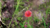 High angle slow pan, a single poppy gently sways in the wind - 215098166