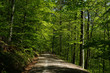 Leinwanddruck Bild - Fruehlingswald; Waldweg im Fruehling;