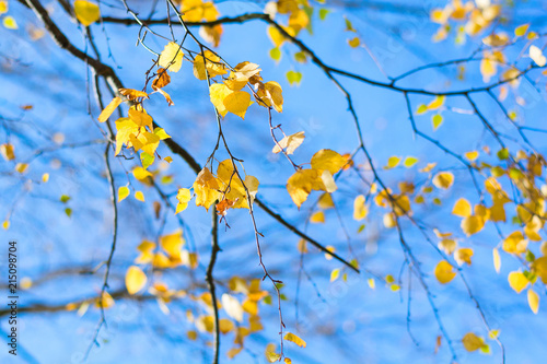 Yellow birch leaves on blue sky background. Autumn fall - 215098704