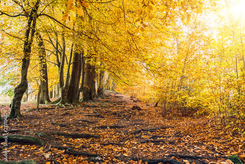 Fotobehang Oranje Fairytale hiking path with roots and yellow forest trees in autumn as template