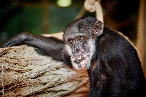 Poster Schimpanse