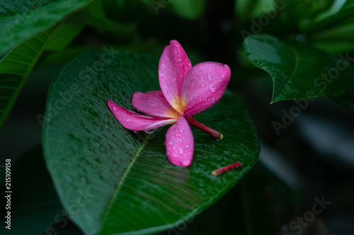 Plexiglas Plumeria Pink flower as Plumeria and green leaves with raindrops