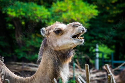 Fotobehang Kameel Zbliżenie głowy wielbłąda.