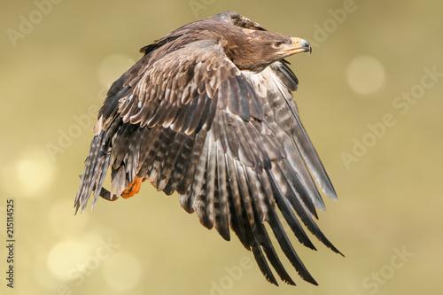 Canvas Eagle Steinadler