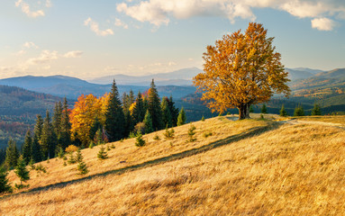 Majestic lonely beech tree on a hill mountain autumn landscape.
