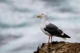 Seagull on rock at Mori Point, CA, Pacific Ocean.