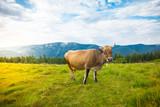 Cows graze on hills
