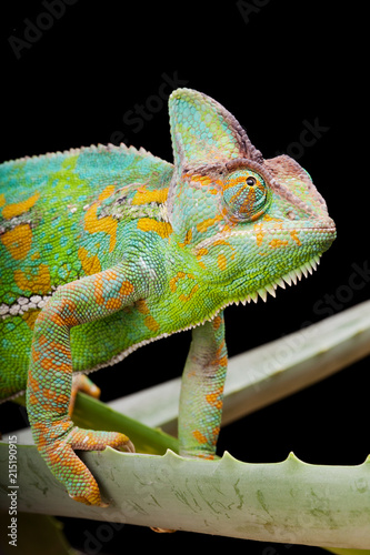 Plexiglas Kameleon Yemen Chameleon