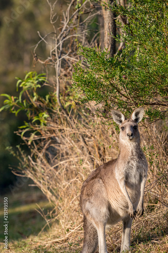 Foto Spatwand Kangoeroe A young kangaroo watching on in the Australian bush