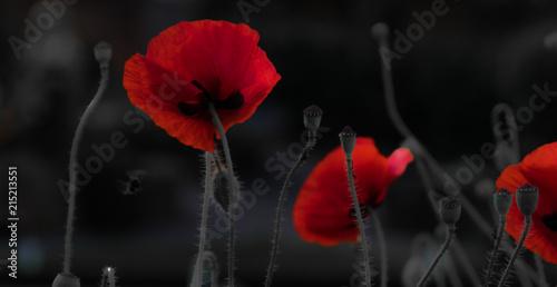 poppy flowers - 215213551