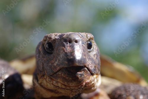 Foto Spatwand Schildpad grassland tortoise testudo horsfieldii