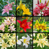 Set of multicolored lilies