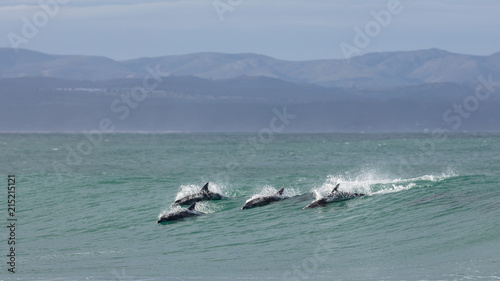 Fototapeta Four surfing dolphins at Supertubes in Jeffreys Bay