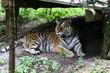 большой тигр живет в зоопарке в городе Любляна в Словении
