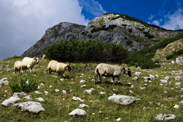 A herd of rams grazing on a rocky mountain meadow
