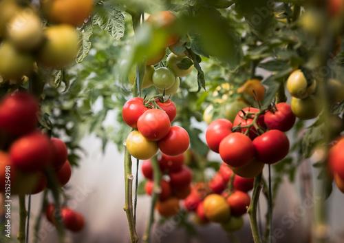 Foto Murales Ripe organic tomatoes in garden