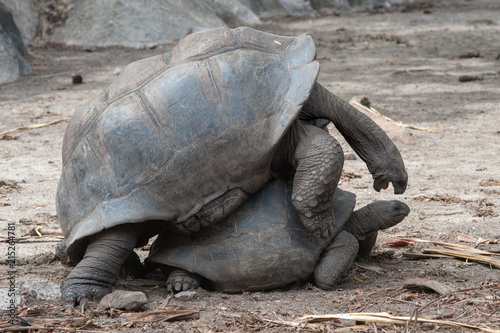 Foto Spatwand Schildpad tortue géantes