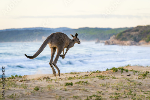 Foto Spatwand Kangoeroe A kangaroo hops away on a beach.