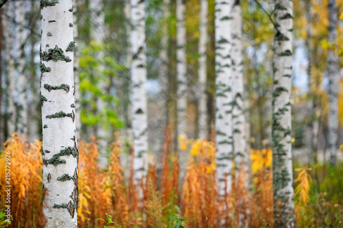 Birch tree (Betula pendula) trunks in autumn scenery.