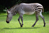 Zebra - 215283107