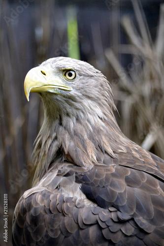 Canvas Eagle American eagle