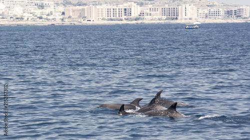Foto Spatwand Dolfijn Bottlenose dolphins