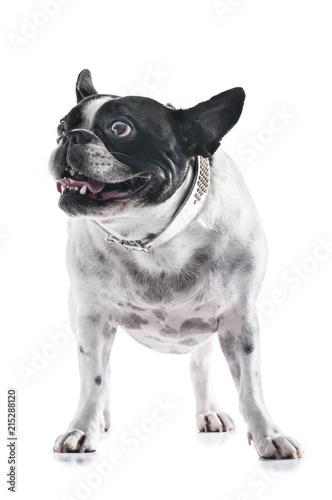 Foto Spatwand Franse bulldog Hund Französische Bulldogge stehend Studio Maul Gebiss Zähne vor Weiß vertikal