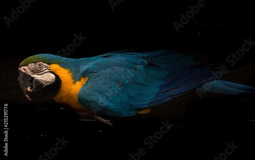 Foto Spatwand Papegaai blue