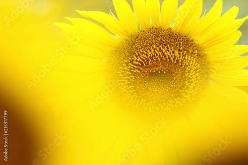 Canvas Zwavel geel 向日葵