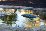Hippopotamus submerged in the river - 215328570