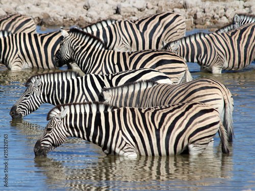Zebras taking a drink in a waterhole in the dry environment of Namibia in the wild. - 215328763