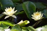 Cyprus garden flower