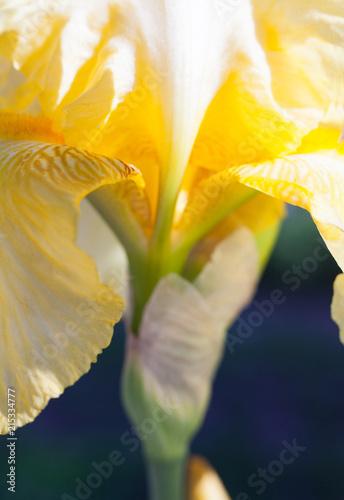Aluminium Iris Yellow iris flower