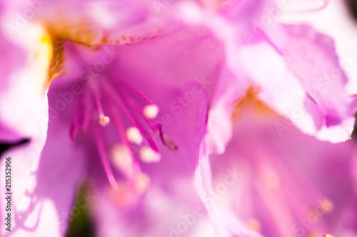 In de dag Azalea Rhododendron pink flower