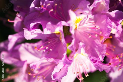 Foto Spatwand Azalea Rhododendron pink flowers