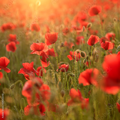 Foto Spatwand Klaprozen Evening light over poppies