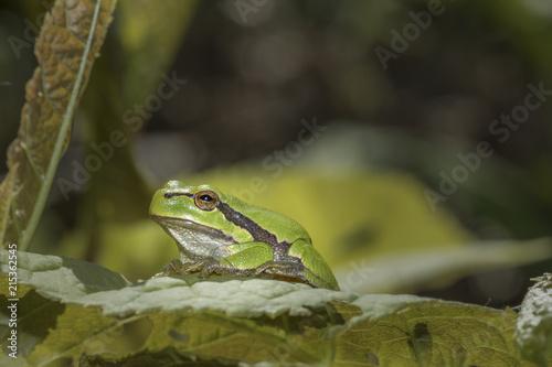 Foto Spatwand Kikker Laubfrosch sitzt auf der Lauer