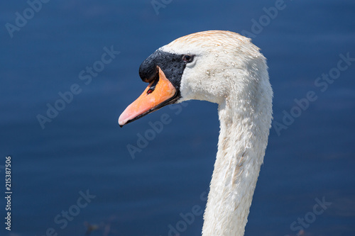 Canvas Zwaan Beautiful swan paddling in the river at Newport wetlands in south Wales, UK