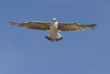 Juvenile yellow-legged Gull (Larus michahellis) in flight seen from belove,in the Camargue in France