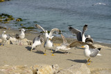 Group of Yellow-legged Gull in beach, adults and juveniles, in the Camargue, a natural region located south of Arles, France, between the Mediterranean Sea and the two arms of the Rhône delta.