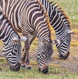 zebra - 215413937