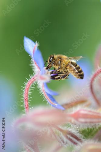 In de dag Bee abeille butinant fleur bourrache