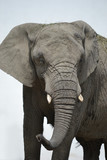 African elephant - close-up