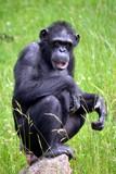 Chimpanzee sitting on grass