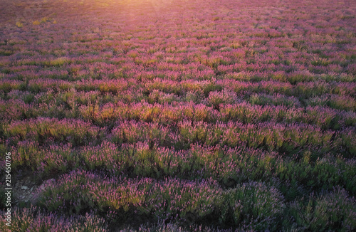 Leinwandbild Motiv Lavender texture.