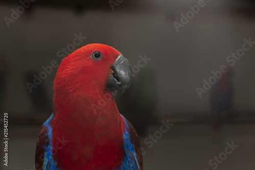 Foto Spatwand Papegaai ฺClose up Lory- parrot