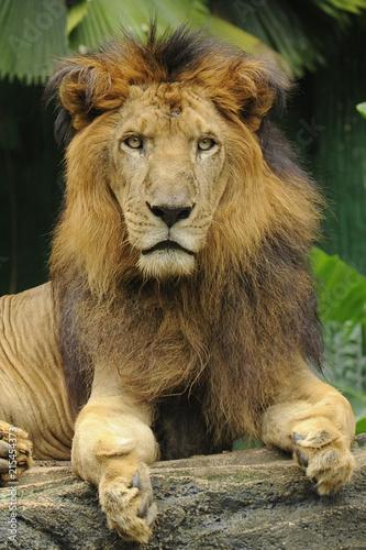 Foto Spatwand Lion Wild Animal Lion
