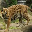 The Malayan tiger (Panthera tigris)